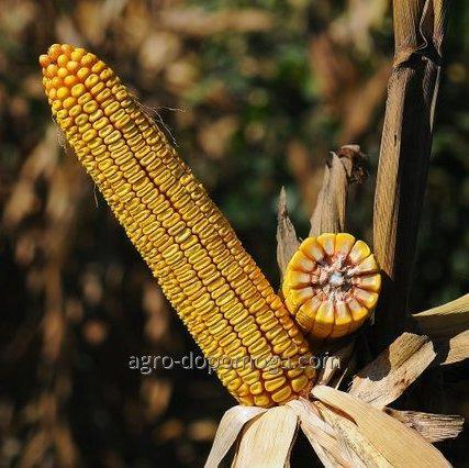 Семена кукурузы НС 4015
