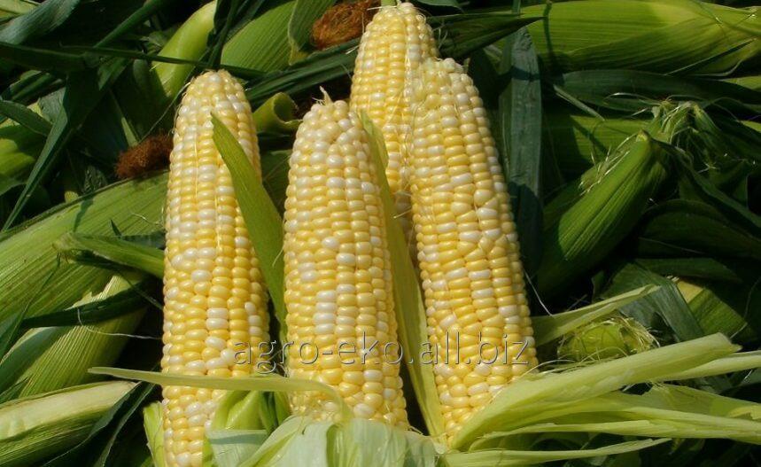 Buy Seeds of corn of DKS of 3511 Monsan