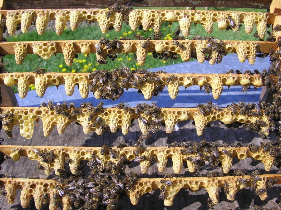 Купить Пчеломатки Карпатской породы Закарпатье, Украина