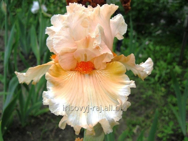 Buy Iris of All My Dreams