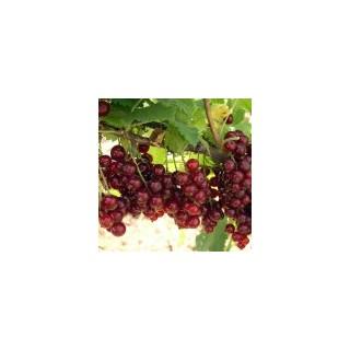 Саженцы смородины красной Viksne