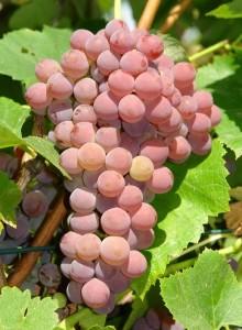 Саженцы винограда Рилайнс пинк сидлис