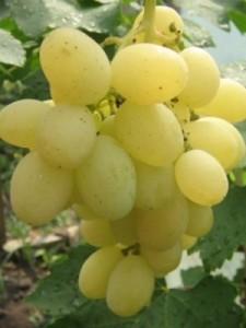 Саженцы винограда Кеша