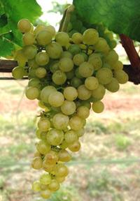 Саженцы винограда Ромулус