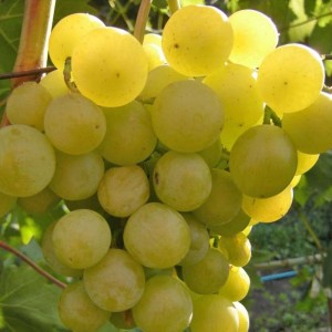 Саженцы винограда Галбена ноу
