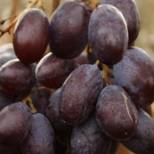 Саженцы винограда Шоколадний ПГ 12