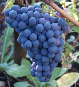 Саженцы винограда кишмиш Уникальный