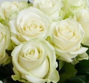 Саженцы роз Аваланш