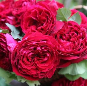 Саженцы роз Гошпел