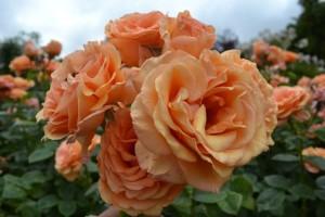 Саженцы роз Екстраваганция
