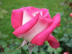 Саженцы роз Акапелла