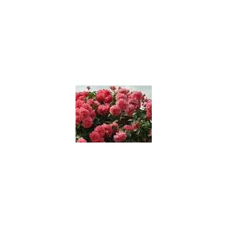 Саженцы роз Розариум