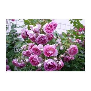 Саженцы роз Жасмин