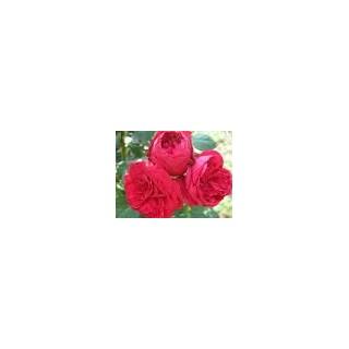Саженцы роз Ред Едем