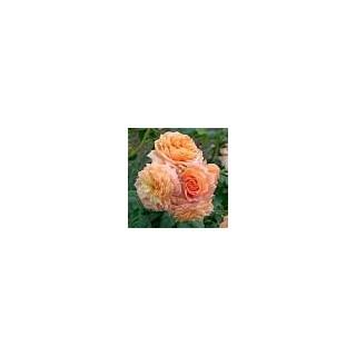 Саженцы роз Барок
