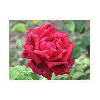 Saplings of roses of shtambovy Burgund