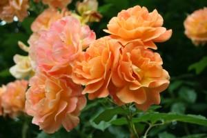 Güller fidanları