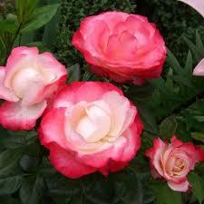 Saplings of roses of shtambovy Nostalgie