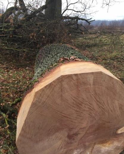 Купить ЗАО «Цумань» осуществляет на постоянной основе закупки лесосырья твердолиственных пород: дуб, ясень, бук и другие.