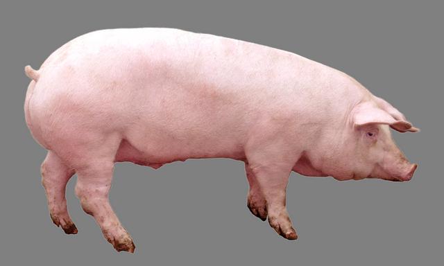 Мультиферментний комплекс для свиней