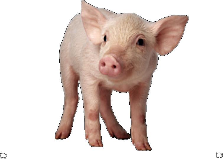 Multifermental complex for pigs
