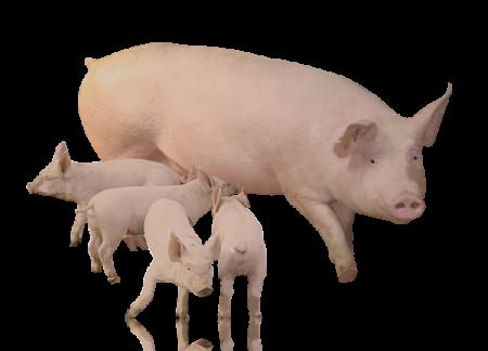 НАТУЗИМ - Мультиферментная добавка  для свиноматок