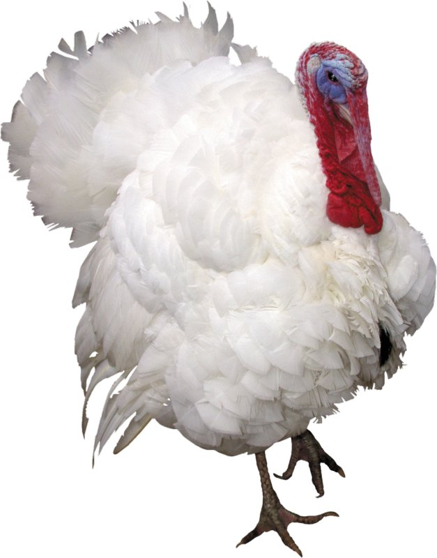 Buy BVMD for turkey-cocks the Starter of 55/50%