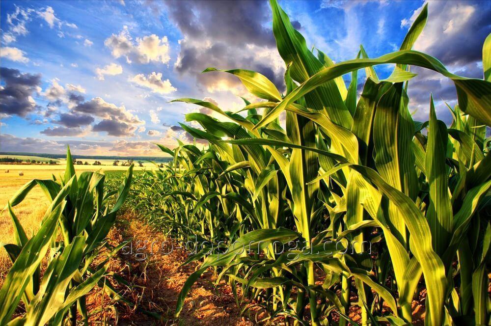 Семена кукурузы Запорожский 333 МВ