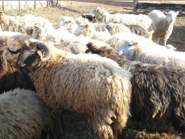 Купить Овцы племенные. Овечки, живым весом порода цигайская, романовская, курдючная эдильбаевская.