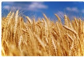 Купить Зерновые культуры
