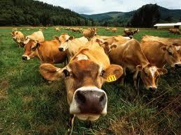 Купить Молодняк крупного рогатого скота