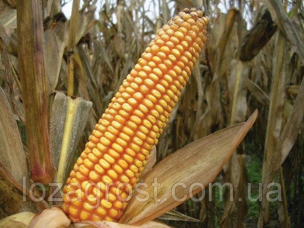 Гибрид кукурузы ВН 63