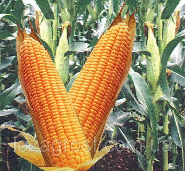 Гибрид кукурузы ВН 6763
