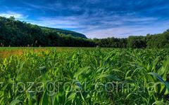 Семена кукурузы Янис