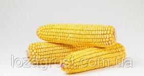 Семена кукурузы Корунд