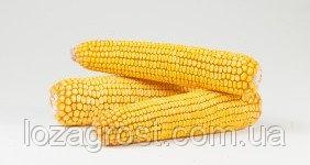 Семена кукурузы Кредо