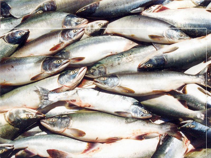Купить Рыба пресноводная