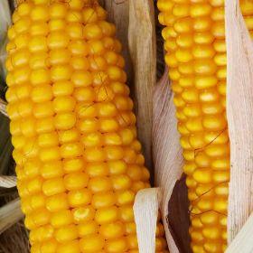 Семена кукурузы Гран 1