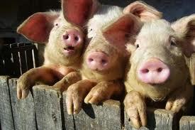 Купить Комбикорма для свиней