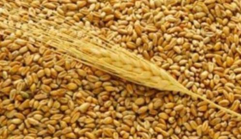 Зерноотходы пшеницы, применяемые в животноводстве, в птицеводстве