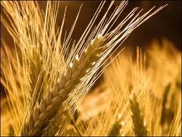 Купить Ячмень зерно, Херсонская область, Украина.Оптом. От производителя.