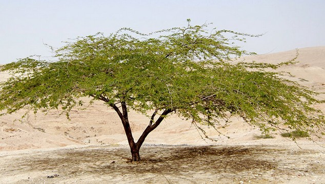 Купить Гуммиарабик Е414 (Аравийская камедь)
