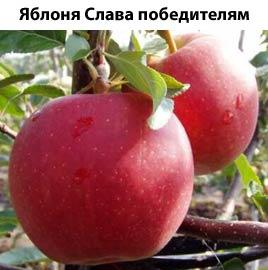 Купить Яблоки сорт слава победителям