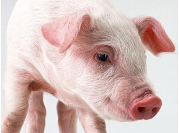 """Купить Минеральный бленд для свиней """"SHENMIX MIN AСTIVЕ PIG"""" 500"""