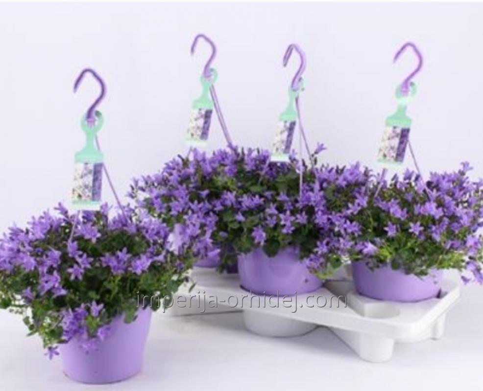 Perennial Flowers In Kiev Online Store Imperiya Orhidej Buy