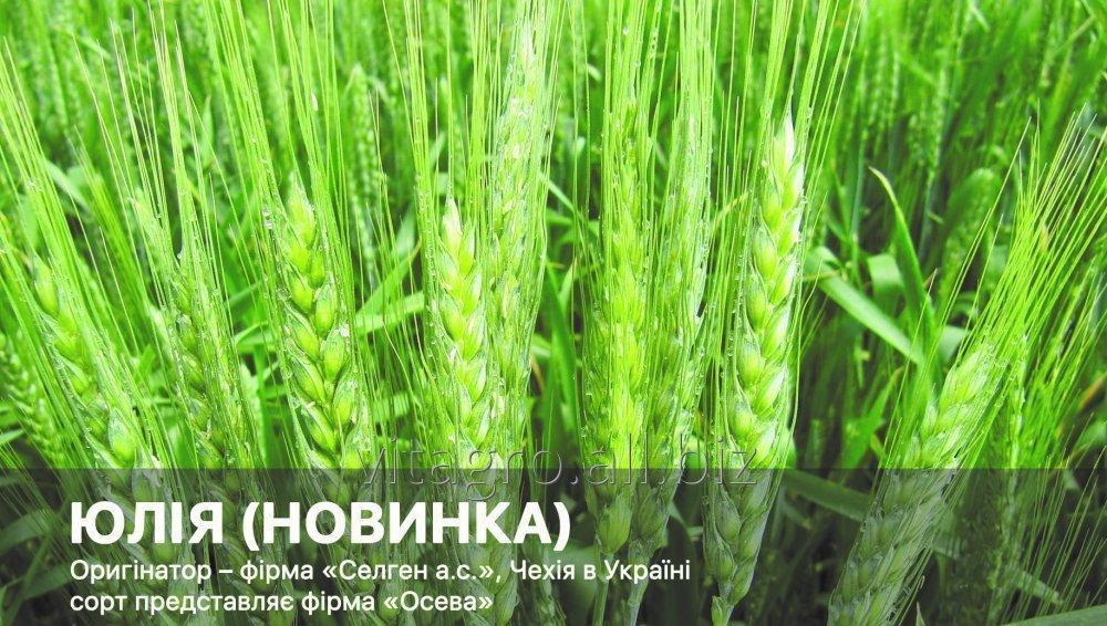 Купити Пшениця озима ЮЛІЯ (НОВИНКА)