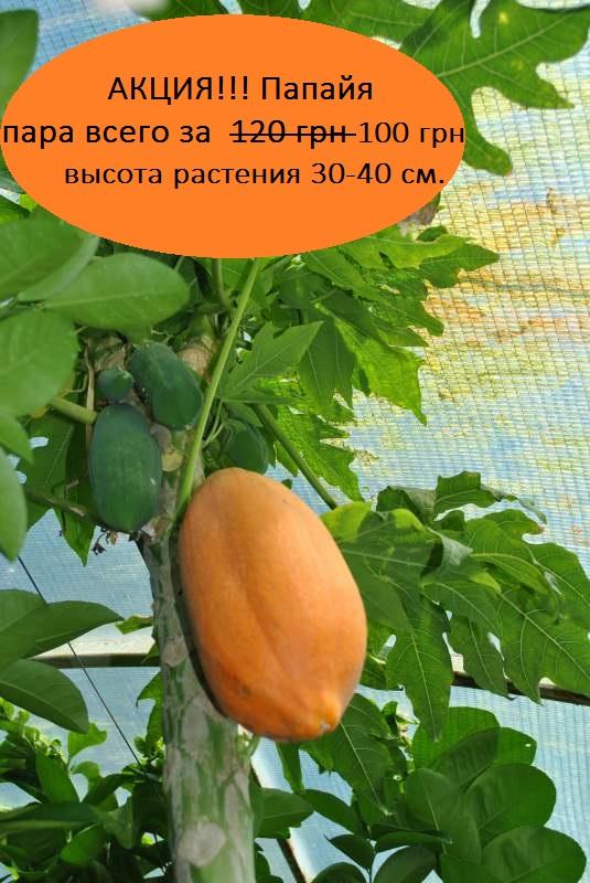 Саженцы папайи 20-30см
