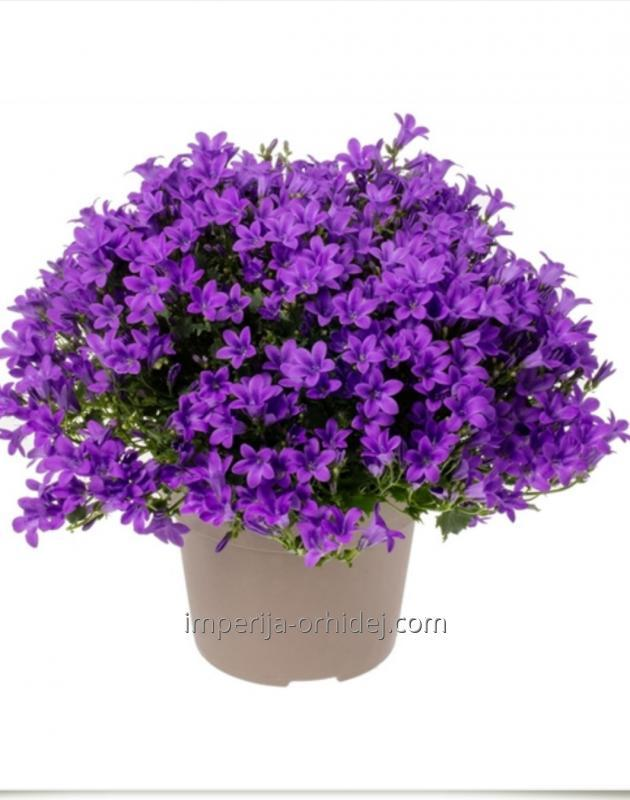 Кампанула Ambella Intense Purple