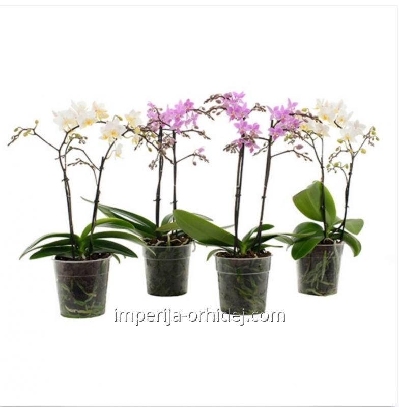 Мультифлора  Fifty Flower