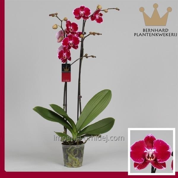 Мультифлора 2 цветоноса
